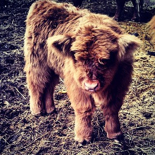 This little guy is a mere two weeks old and simply adorable! #highlandcattle #farmanimals #newhampshire #toocute