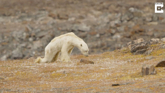 'All of our team was in tears': Video shows polar bear starving in the North