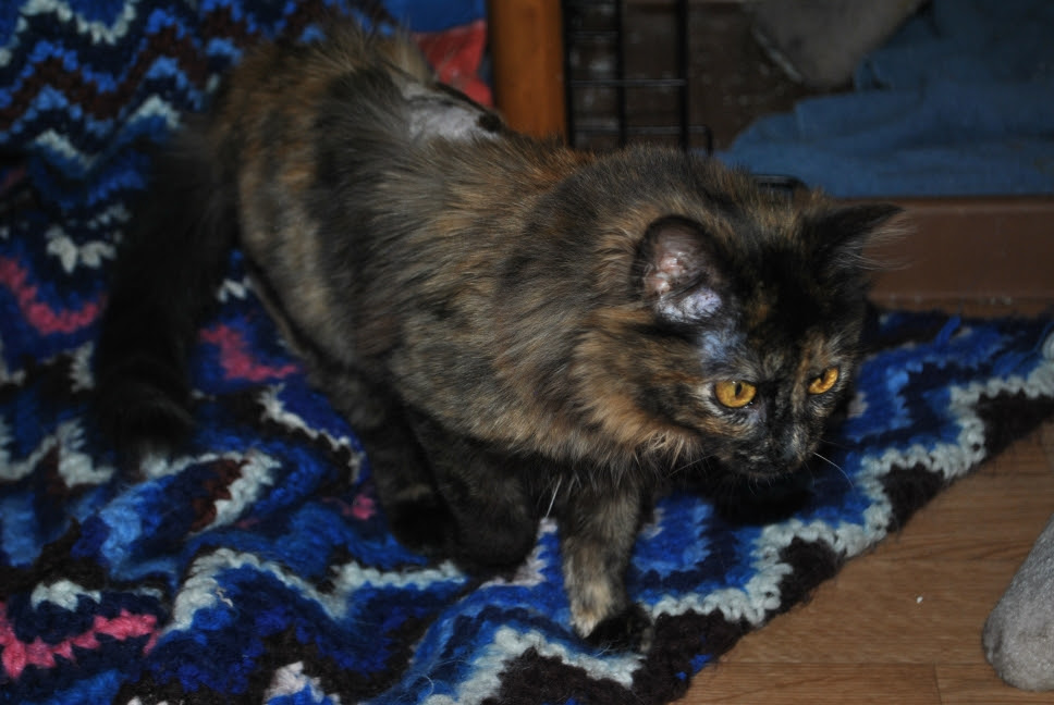 tortie kitten about to pounce