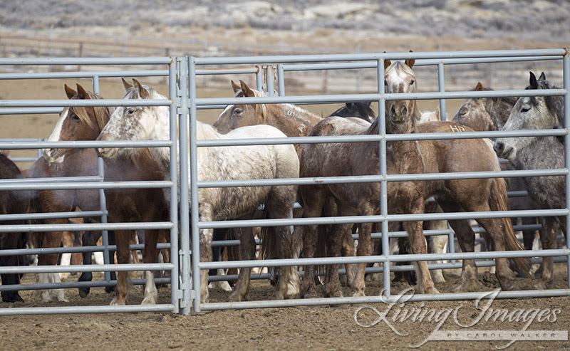 The horses in the pen ready to go