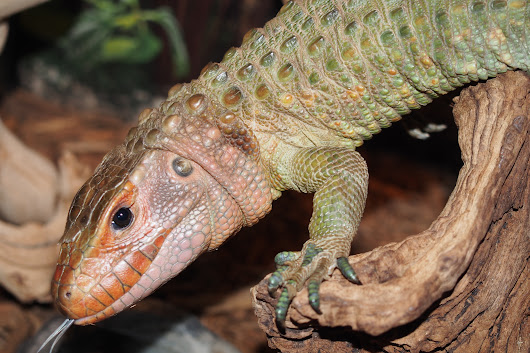 Caiman Lizard for Sale - xyzReptiles