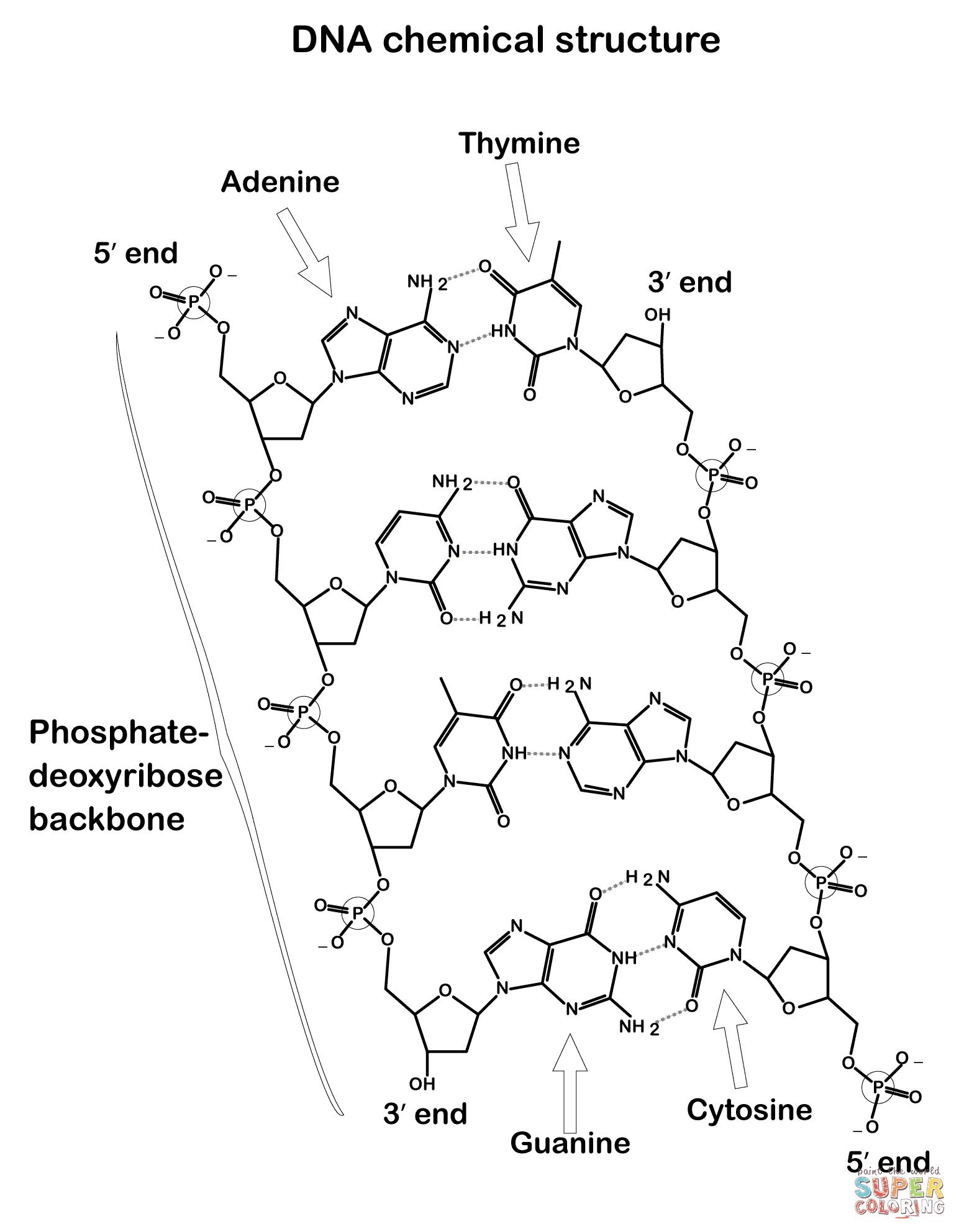 Dibujo De Estructura Química Del Adn Para Colorear Dibujos Para