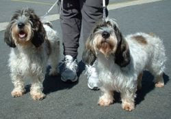 Petit Basset Griffon Vendéen scent hound type