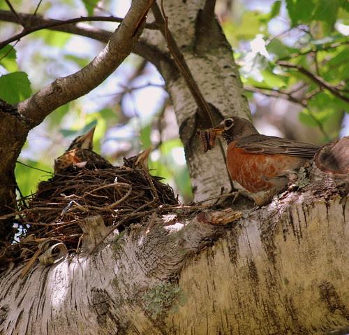 Robins - Mama with worm