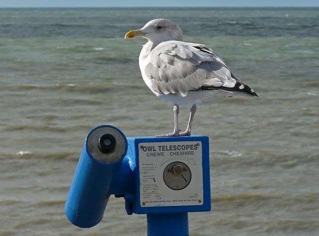 P1090744 - Herring Gull, Aberystwyth