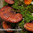 Boost overall health by eating reishi mushrooms