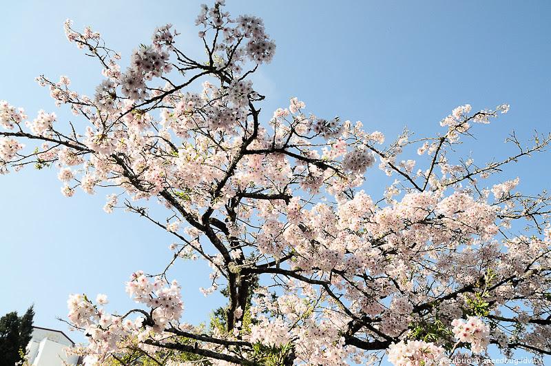 阿里山櫻花季73