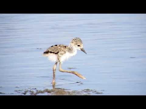 Natureza em destaque: Filhotes de pernilongo se alimentando às margens do açude