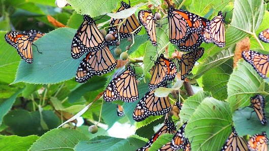 A Flutter of Monarch Butterflies At Toronto Shoreline