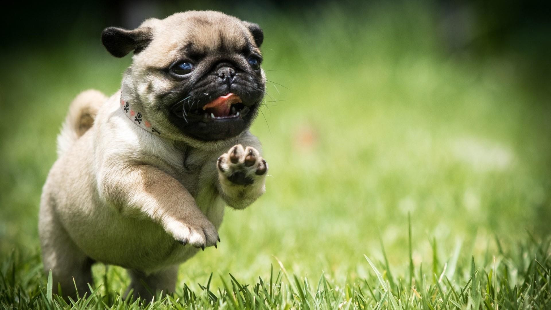 **Ready Now**Gorgeous Pug Puppies for sale In England UK