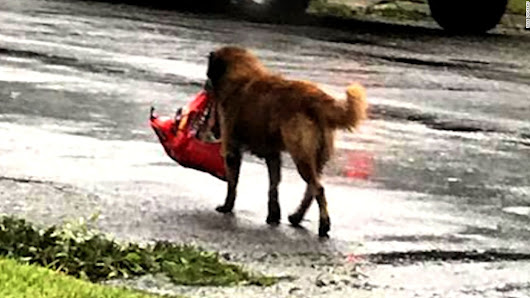 Photo of dog carrying bag of food goes viral - CNN Video