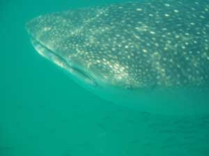 whale sharks yucatan mexico