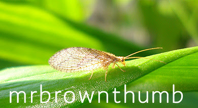 Brown lacewing pest control