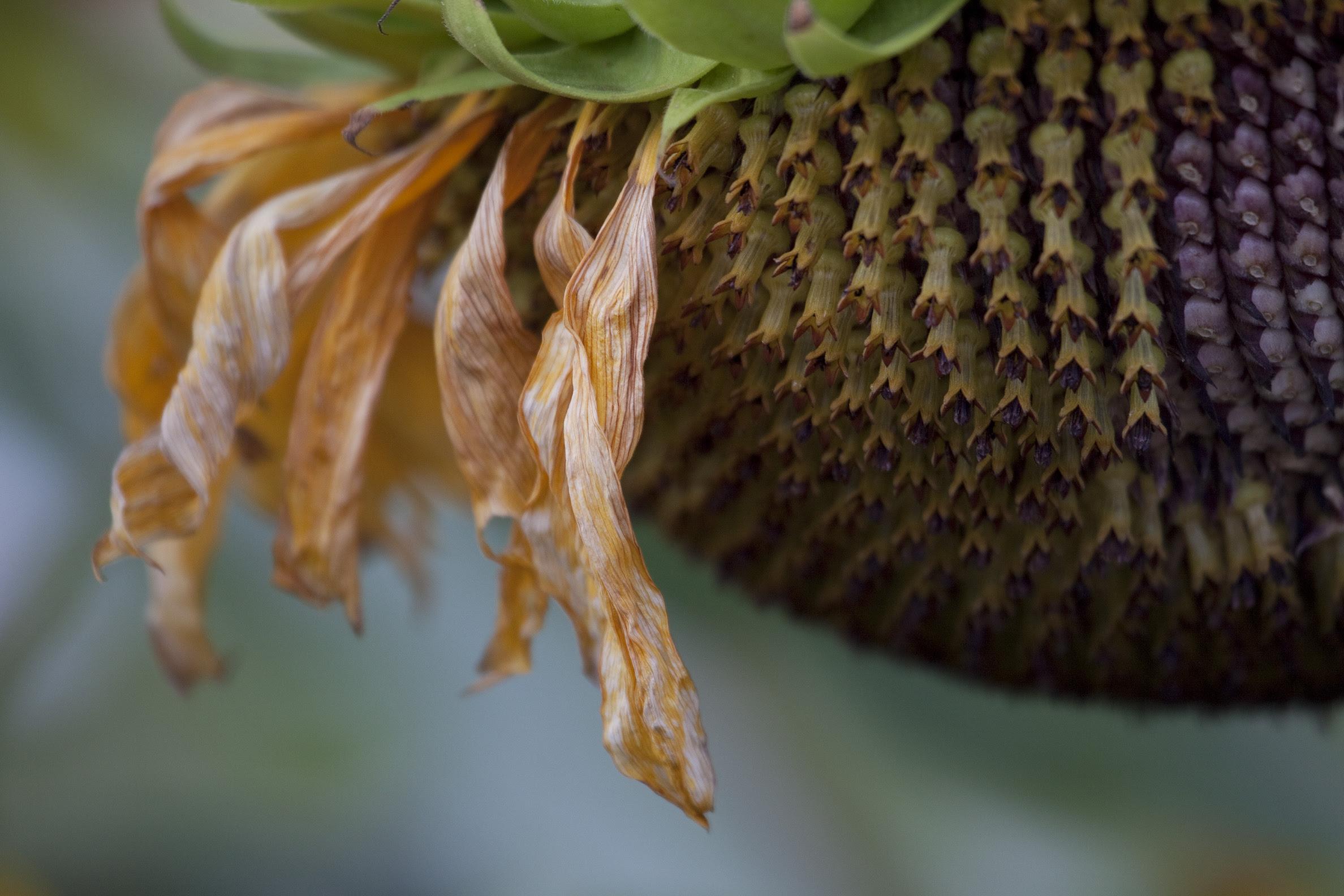 sunflower head2