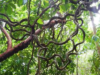 Rainforest Vine, Dubuji Boardwalk