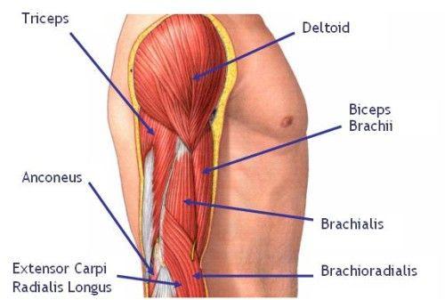 photo Arm-Muscle-Diagram-500x337_zps40a304ab.jpg