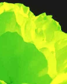 La clorofila es la encargada de absorber la luz necesaria para que la fotosíntesis pueda ser llevada a cabo, proceso que culmina con la transformación de la energía luminosa en energía química.
