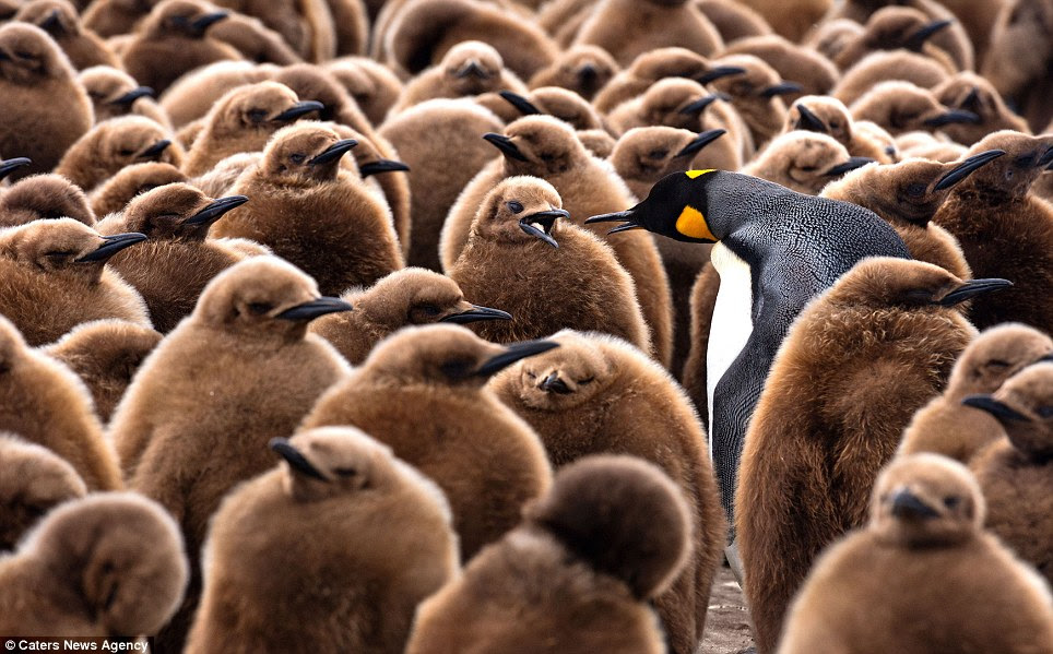 Distinctive: The adults are able to locate their youngsters amongst the huge crowd by detecting their calls