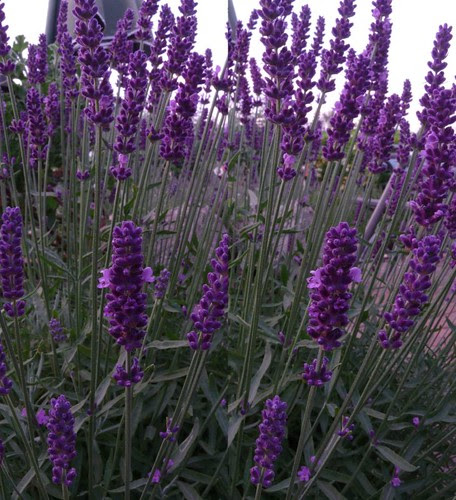 Lavendel  3D Stereo Crosseye View - Macro