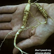 Guide to Prime Time Ginseng Poaching