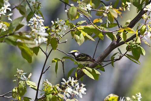 Chestnut-sided Warbler in blooming Juneberry tree