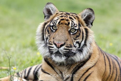Sumatran Stare by Megan Lorenz