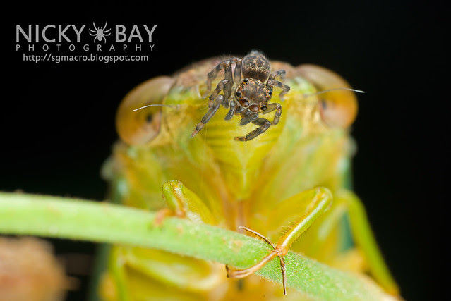 Cicada (Cicadidae) with Jumping Spider (Salticidae) - DSC_7360