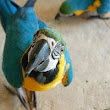 How to Read Parrot Body Language – Paco Parrot's Blog