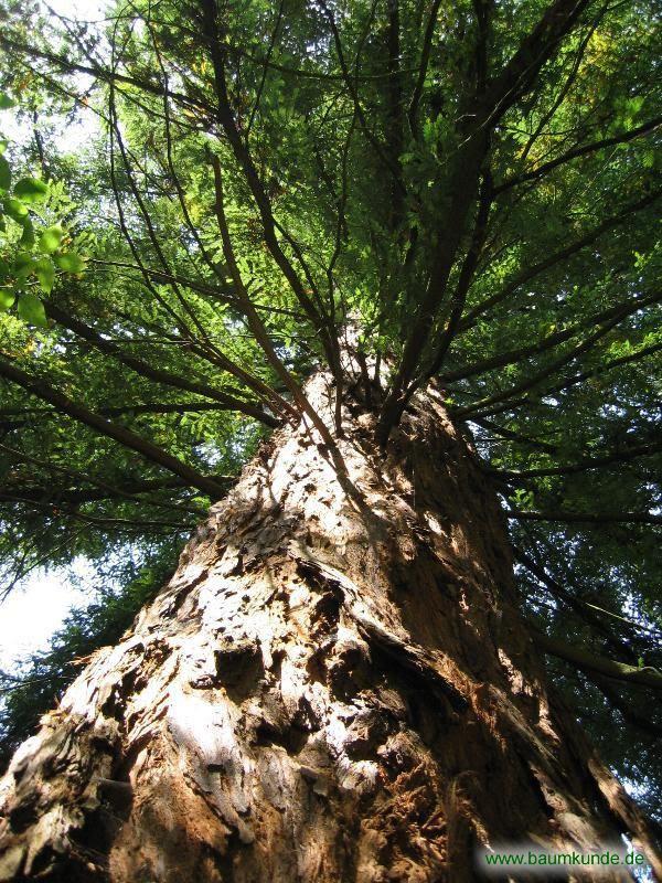 Küsten-Mammutbaum