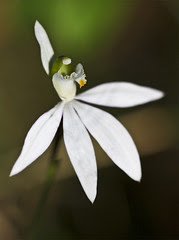 Lady Finger Orchid