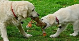 Job Looking After Two Golden Retrievers In A Luxury Town House Somehow Still Available
