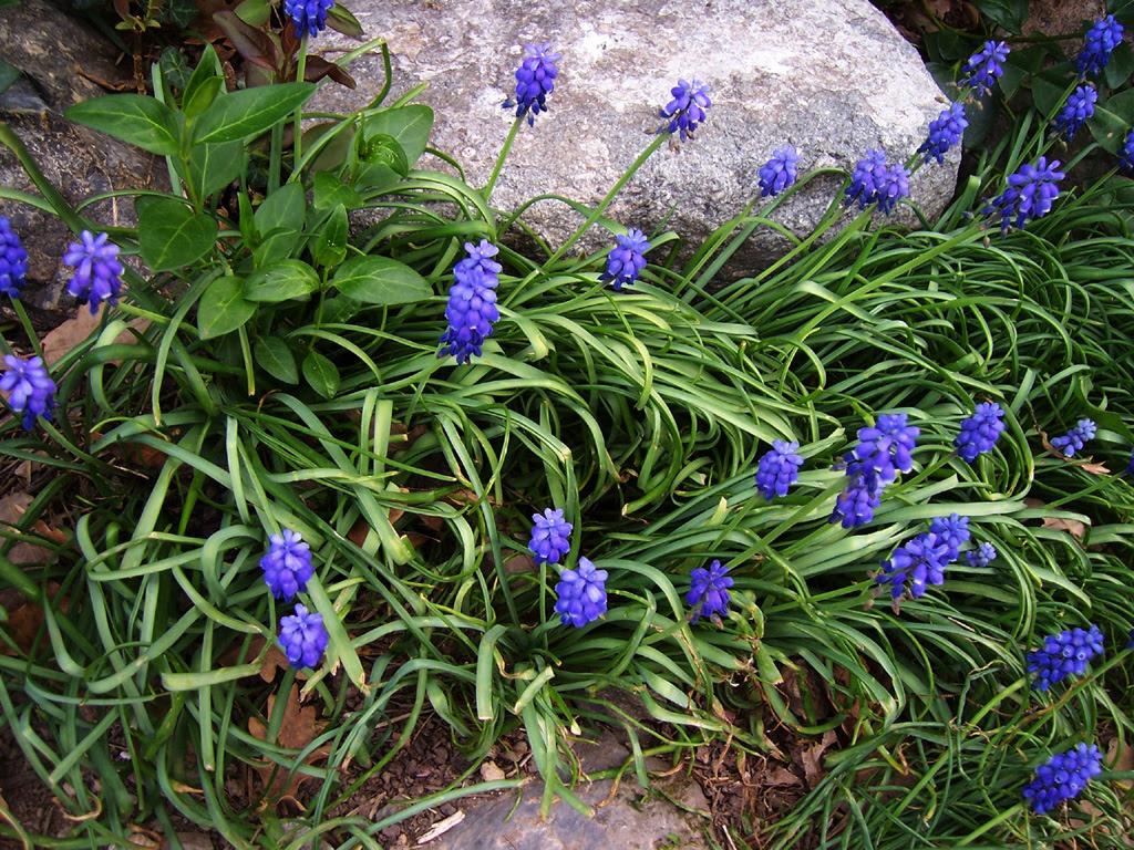 Fleurs : Muscari