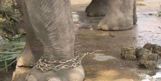 petition: Place Suraj the Abused Elephant in Safe in Sanctuary ASAP