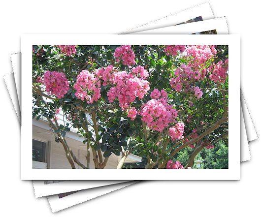 Best Trees to Grow Curb Appeal: Crape Myrtle