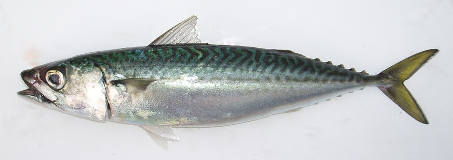 mackerel Overweight Dolphins Forced to Diet picture