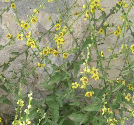 Flower at Aptera