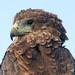 Juvenile Bateleur Eagle Close Up