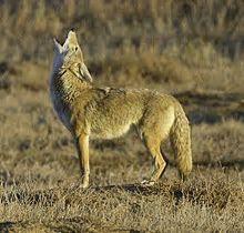 Coyote   Wikipedia