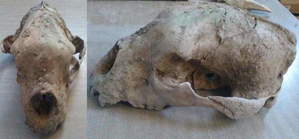 Remains Of A Giant Bear From The Late Pleistocene Found In Buenos Aires