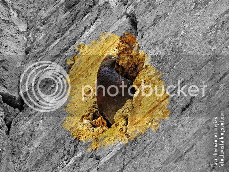Una paloma sale del interior de una grieta de los viejos muros de Herculano, Italia