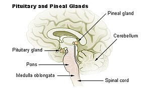 pineal pituitaire