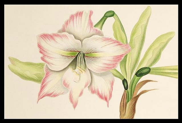 Amaryllis solandriflora