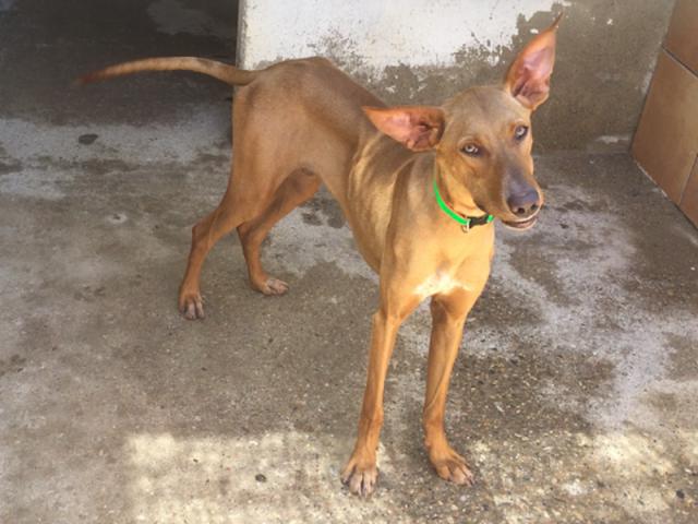 Dobbey – 10 month old male Ibizan Hound (Podenco)