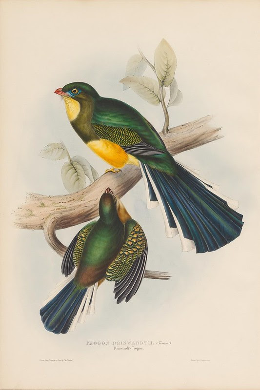 1830s ornithological illustration by John Gould