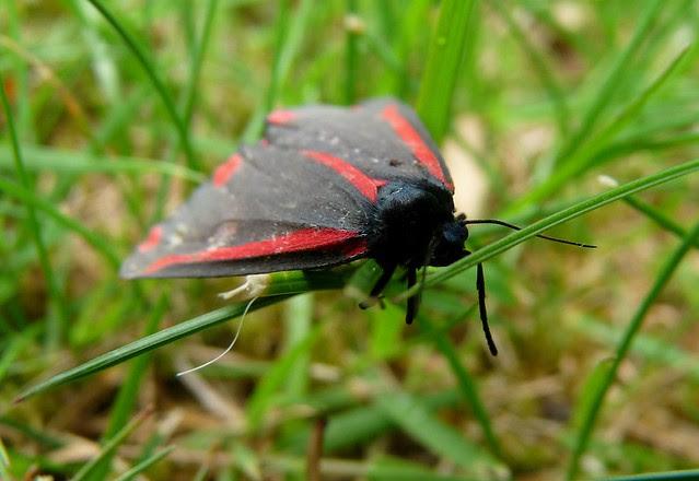 24333 - Cinnabar Moth, Pontarddulais
