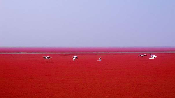 Η εκπληκτική Κόκκινη Παραλία στο Panjin της Κίνας (7)