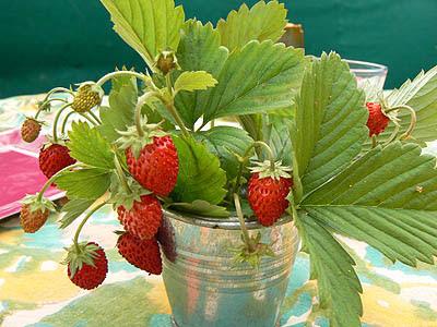 fraises des bois.jpg