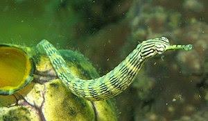 http://upload.wikimedia.org/wikipedia/commons/thumb/4/42/PipeFish.jpg/300px-PipeFish.jpg