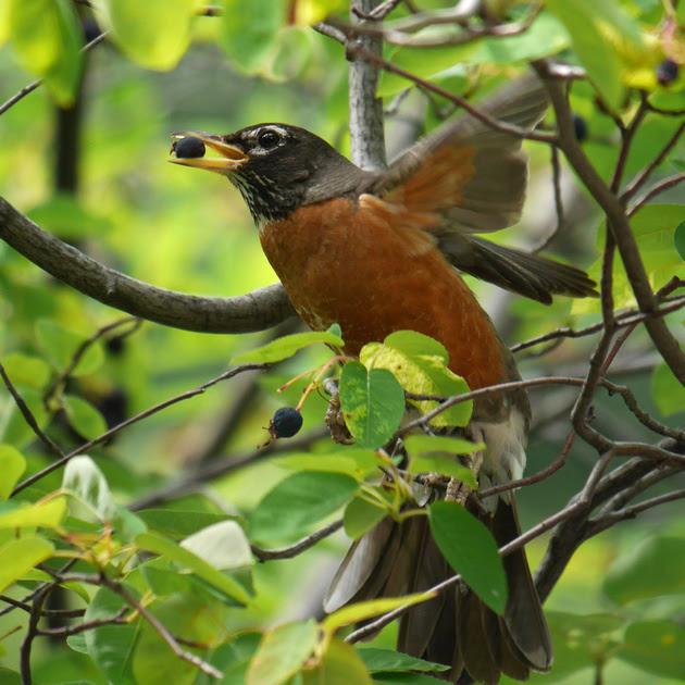 Ed Gaillard: birds &emdash; Robin eating berry, The Pond, Central Park
