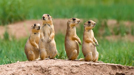 Prairie dogs build air-conditioned homes